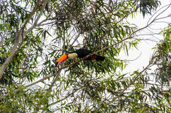 Wild Tucano bird on a tree branch. Black bird with white neck, blue eyes and a long orange beak. Animal of South America, Brazil. Bird on center looking down Royalty Free Stock Photography