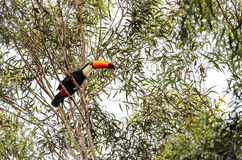Wild Tucano bird on a tree branch. Black bird with white neck, blue eyes and a long orange beak. Animal of South America, Brazil. Bird aligned to the left Stock Photography