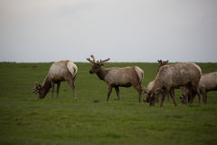 Wild Tule elk roaming lush grasslands in Point Reyes National Seashore. Herd of Wild Tule elk with young male roaming grasslands in Point Reyes National Seashore Royalty Free Stock Photo