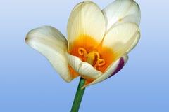 Wild tulip bud Royalty Free Stock Photos