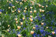 Wild tulip field Stock Photography