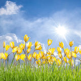 Wild tulip flower meadow Stock Photos