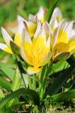 Wild tulip Royalty Free Stock Photo