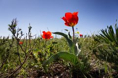 Wild Tulip Royalty Free Stock Images