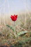 Wild tulip in the steppe Stock Photos