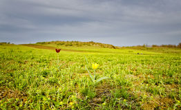 Wild tulip in the steppe Stock Image