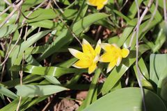 Wild Tulip Tarda Stock Photography