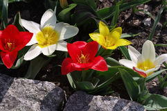 Wild tulip Tulipa kaufmanniana. In spring Royalty Free Stock Images