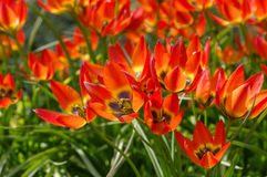 Wild tulip Tulipa Little Princess Stock Photography