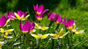 Wild tulip stock video footage
