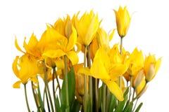 Wild tulips Royalty Free Stock Photos