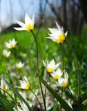 Wild tulips in a grass Royalty Free Stock Images