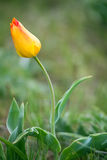 Wild tulips Stock Photo