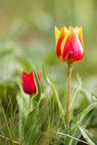 Wild tulips Royalty Free Stock Photography
