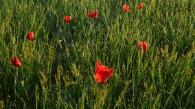Wild tulips in a green field. Multiple colored wild tulips in a green field stock footage