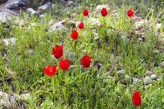 Wild tulips on a meadow Royalty Free Stock Photography