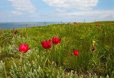 Wild tulips on the seaside Stock Photography