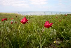 Wild tulips in the steppe Royalty Free Stock Photos