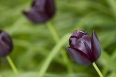 wild tulpan för beautifullblackblomma Arkivbild
