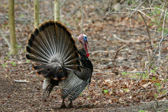 Wild turkey Royalty Free Stock Photos