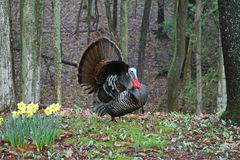 Wild Tom Turkey