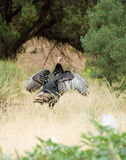 Wild turkey. Flapping wings in the forest Stock Photography