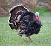 Wild Turkey. In meadow showing plumage royalty free stock photos