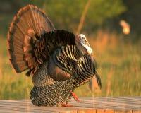 Wild Turkey 2. Displaying wild turkey Royalty Free Stock Image