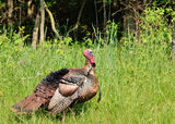 Wild Turkey Royalty Free Stock Image