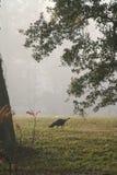 Wild Turkey. A wild turkey on foggy morning royalty free stock image