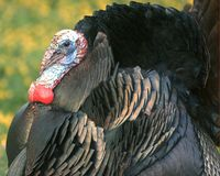 Wild Turkey 5 Stock Photography