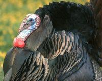 Wild Turkey 5. Male Wild Turkey Stock Photography