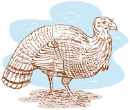Wild turkey Stock Image