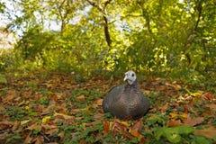 Wild Turkey. (meleagris gallopavo silvestris) in Central Park, New York City Stock Photography