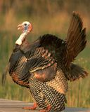 Wild Turkey 7 Stock Image