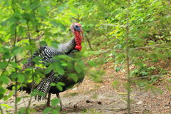 Wild turkey. Amoung the bushes Royalty Free Stock Photo