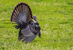 Wild Turkey in breeding display strutting through green grass. Royalty Free Stock Image