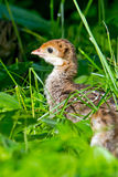 Wild Turkey Chick Royalty Free Stock Photography