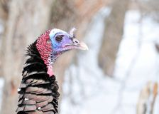 Wild Turkey Close-up Royalty Free Stock Photos