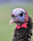 Wild Turkey Close-up Stock Photos
