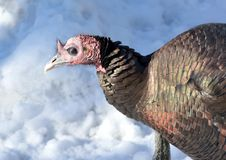 Wild Turkey. Closeup of a wild tom turkey in the snow Royalty Free Stock Image