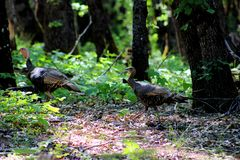 Wild Turkey Couple, Shasta-Trinity National Forest, Northern California. The Wild Turkey Meleagris gallopavo is an upland ground bird native to North America and royalty free stock image