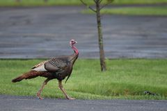 Wild Turkey. Crossing a road in a park Royalty Free Stock Photography