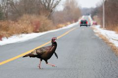 Wild Turkey Crossing The Road, Whitby, Ontario. A wild turkey at Lynde Shores Conservation Area in Whitby, Ontario stock photography