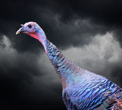 Wild Turkey with dark clouds in the background. Close up of a wild turkey with dark clouds behind it stock images