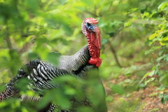 Wild turkey detail Stock Photo
