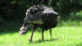 Wild Turkey stock footage