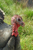 Wild Turkey Eye Royalty Free Stock Photos