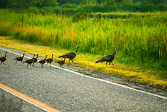 Wild turkey family Royalty Free Stock Photography