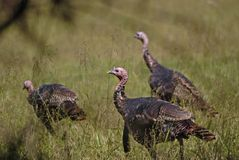 Wild Turkey Feeding Stock Images